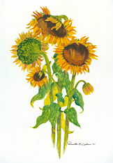 Sunflowers Tall